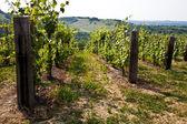 Barbera vineyard - Italy — Stock Photo