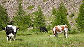 Cows and Italian Alps — ストック写真