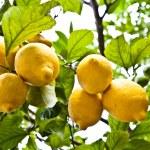 Постер, плакат: Lemon agricolture