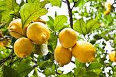 Lemon - agricolture — Stock Photo