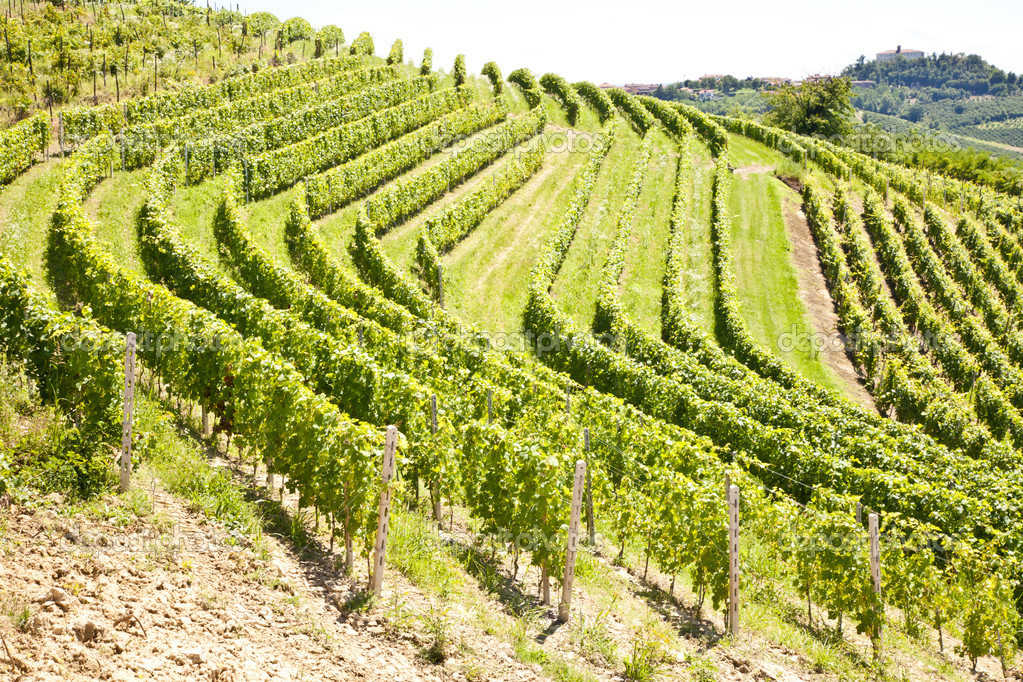 Barbera vineyard during spring season, Monferrato area, Piedmont region, Italy — Stock Photo #8972700