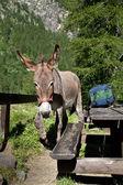 Donkey close up — Stock Photo