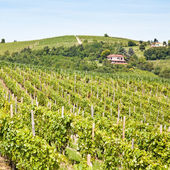 Italy - Piedmont region. Barbera vineyard — Stock Photo