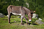 Donkey on Italian Alps — Stock Photo