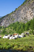 Cows and Italian Alps — Stock Photo