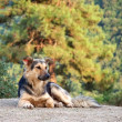 Shepherd dog — Stock Photo #9170231