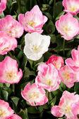 Lily çiçek — Stok fotoğraf