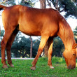 Stock Photo: Horse grazing grass