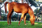 Paard begrazing van het gras — Stockfoto