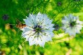 Cumin Flower — Stock Photo