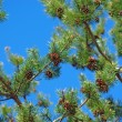 Pinetree branches with cones against blue sky — Stock Photo