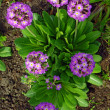 Magenta Primrose Flower And Bud (primula Vulgaris) - Photo