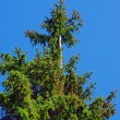 Bald spruce — Stock Photo