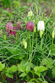 Fritillaria meleagris — Stock Photo