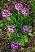 Magenta Primrose Flower And Bud (primula Vulgaris) — Stock Photo