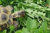 Tartaruga comendo grama — Foto Stock