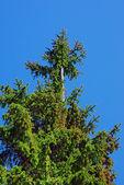 Bald spruce — Stock Photo