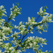 Bird-cherry blossom against blue sky — Stock Photo