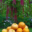 Stock Photo: Pile of pumpkins and amaranth plant