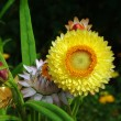 Helichrysum flowers suitable for drying — Stock Photo