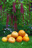 A pile of pumpkins and amaranth plant — Stock Photo