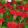 Flowering bee balm plants, also called as Monarda — Stock Photo