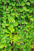 The Green Creeper Plant on the wall — Stock Photo