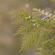 Stock Photo: Coniferous branch