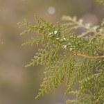 Coniferous branch — Stock Photo