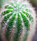 Green cactus — Stock Photo