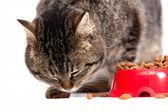 O gato come uma forragem. é isolado em um fundo branco — Fotografia Stock