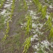 Hail damaged corn field - Storm disaster — Stock Photo