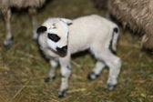 Newborn Lamb — Stock Photo