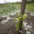 Hail Storm Disaster in garden — Stock Photo
