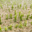 Stock Photo: Hail damaged corn field - Storm disaster