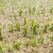 Hail damaged corn field - Storm disaster - Stock Photo