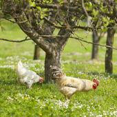 курицу на траве поля — Стоковое фото