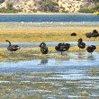 Black Swans - Stock Photo