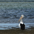 Pelican on water - Stock Photo