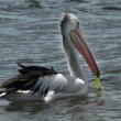 Stock Photo: Pelicans on water