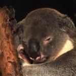 Koala up a tree — Stock Photo