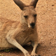 Kangaroo in nature - Stockfoto