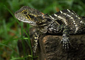 Lizard in nature — Stock Photo