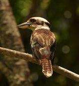 Kookaburra bird in Australia — Stock Photo