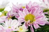 美丽的菊花 — 图库照片