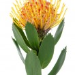 pincushion protea — Stock Photo
