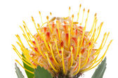 Pincushion in te stellen protea — Stockfoto