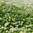 Royalty-Free Stock Photo: Field of daisies