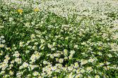 Field of daisies — Stockfoto