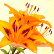 Orange lily flowers — Stock Photo